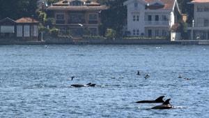 (Özel Haber) İstanbul Boğazı'nda yunuslardan görsel şölen