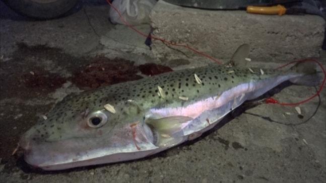 Oltaya beş kiloluk balon balığı takıldı