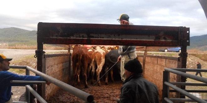 Dalaman ve Köyceğiz'de genç çiftçiler düveleri ile buluştu